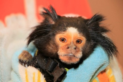 "Mormoset Monkey ""Gizzy"" recovered by Petersburg Police. (Photo by CPD – Jim Knoll)"