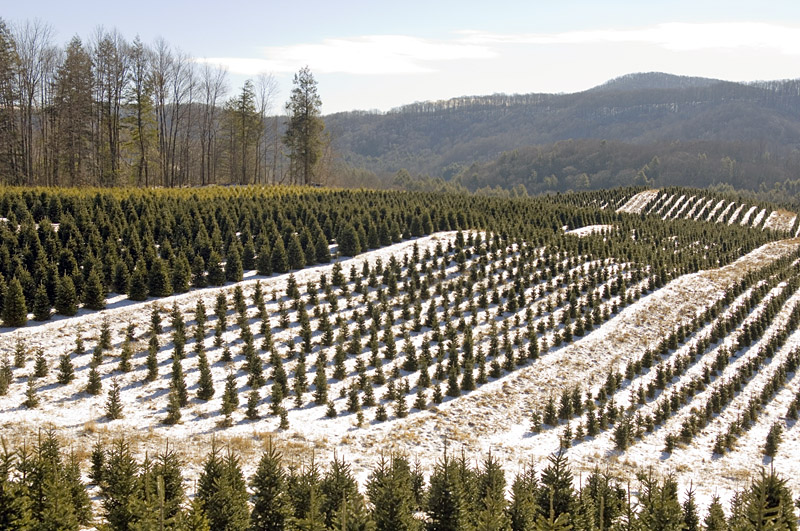 Ripshin Tree Farm in East Tennessee. - Tennessee Department Of Agriculture Reports Summer Drought Did Not