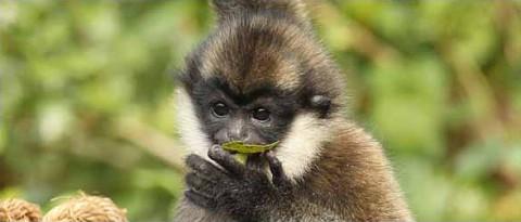 White Cheeked Gibbon at the Nashville Zoo.