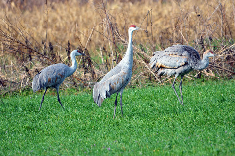 The Sandhill Crane Festival will be held January 19th-20th at the Hiwassee Refuge and in the community of Birchwood. It is the 22nd anniversary of the event.