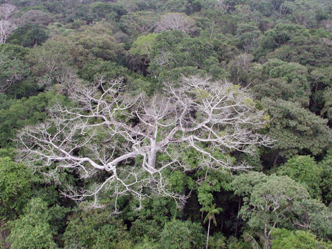 The megadrought in the Amazon rainforest during the summer of 2005 caused widespread damage and die-offs to trees, as depicted in this photo taken in Western Amazonia in Brazil. (Image credit: NASA/JPL-Caltech)