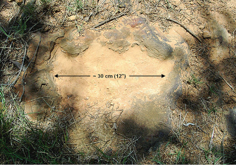This imprint shows the right rear foot of a nodosaur - a low-slung, spiny leaf-eater - apparently moving in haste as the heel did not fully settle in the cretaceous mud, according to dinosaur tracker Ray Stanford. It was found recently on NASA's Goddard Space Flight Center campus and is being preserved for study. (Credit: Ray Stanford)