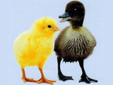 Cuddly baby chicks and ducks should not be given as gifts.