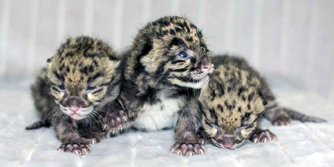 Three Clouded Leopards born at the Nashville Zoo