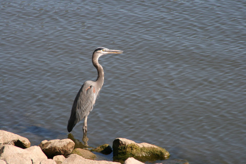 Great Blue Heron. (Land Between the Lakes)