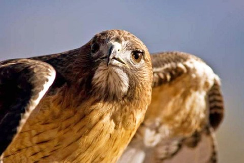 "A Red-tailed Hawk will be one of the ""Birds of Prey"" at Dunbar Cave State Park this Saturday."