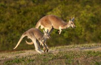 Two of the kangaroos that will be on exhibit at the Nashville Zoo's new Kangaroo Kickabout habitat. (Amiee Stubbs)