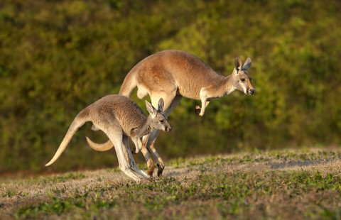 Two of the kangaroos that will be on exhibit at the Nashville Zoo's new Kangaroo Kickabout habitat. (Amiee Stubbs)