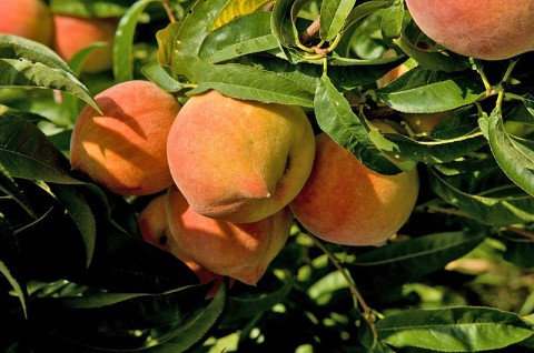 Pick Perfect Local Peaches in Tennessee