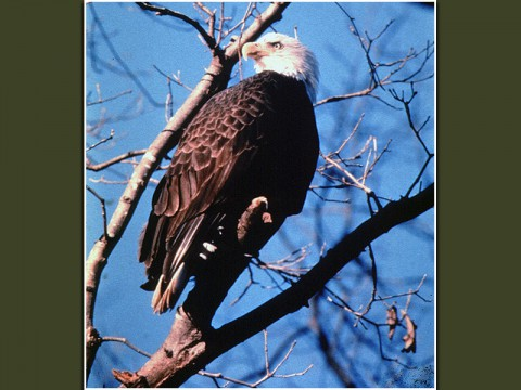 American Bald Eagle (Land Between the Lakes)