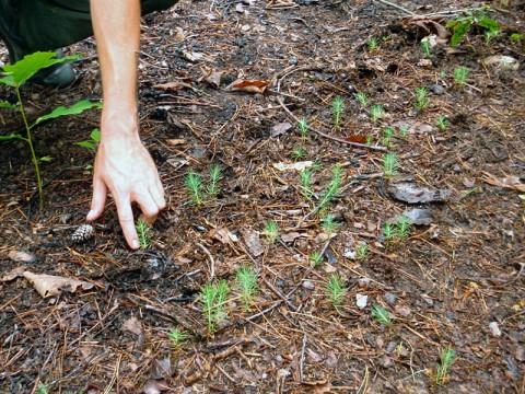 Short Leaf Pine Seedlings at Land Between the Lakes (LBL)
