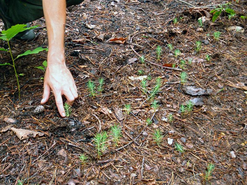Shortleaf Pine Seedlings Short Leaf Pine Seedlings at