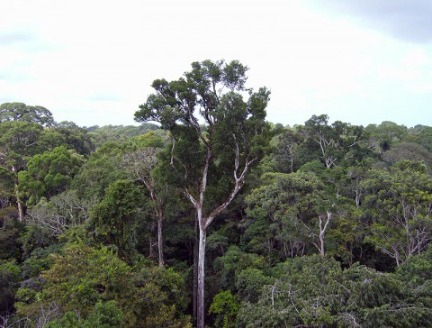 Old-growth Amazon tree canopy in Tapajós National Forest, Brazil. A new NASA study shows that the living trees in the undisturbed Amazon forest draw more carbon dioxide from the air than the forest's dead trees emit. (NASA/JPL-Caltech)