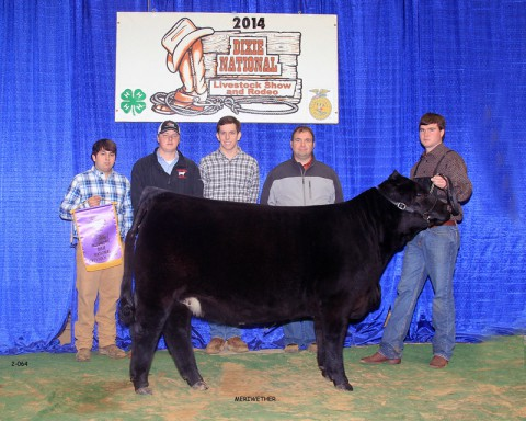 APSU Beef Cattle Show Team's heifer was named Senior Calf Champion at the Dixie National Livestock show.