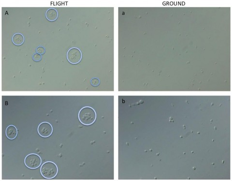 This is an image of light microscopic analyses of fixed C. albicans cultured in spaceflight (A, B) and ground control (a, b) conditions. The purple circles indicate cell clumps of four or more cells, where the cells formed biofilms, a typical characteristic of the pathogenic form of the fungus. (PLOS One/ Crabbé et al, 2013)