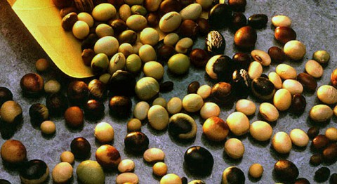 Soybean seeds from the U.S. Department of Agriculture's Soybean Germplasm Collection. (USDA)