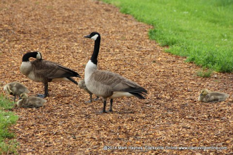 Geese at Dunbar Cave State Park