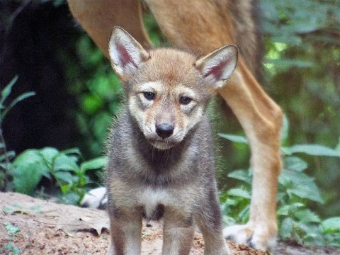 New Red Wolf Pup at Nature Station sticks close to Mom as she ventures out from her den to explore her surroundings. On May 2, 2014, her proud parents welcomed her into the world weighing only 3/4 of a pound. (Brooke Gilley)