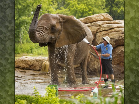 Nashville Zookeeper with an Elephant. (Amiee Stubbs)