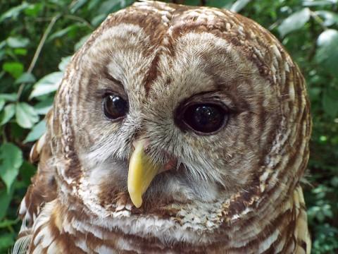 Barred Owl photo taken at Woodlands Nature Station. (Brooke Gilley)