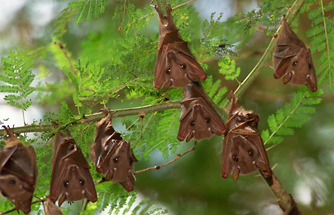 Bats can eat a thousand insects in an hour and are helpful in controlling mosquitoes.