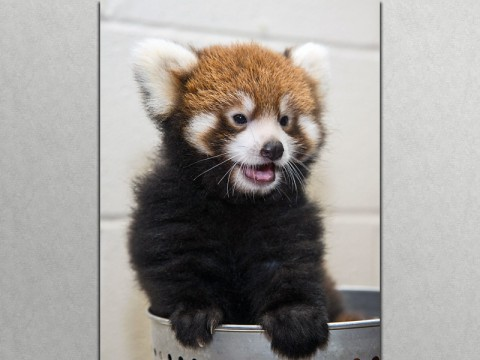 Red Panda Cub at the Nashville Zoo. (Amiee Stubbs)