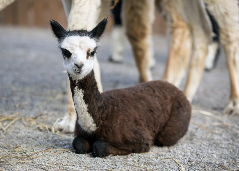 Alpaca Calf born at the Nashville Zoo. (Amiee Stubbs)