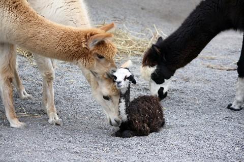 Alpaca Calf with adults. (Kathleen Gregory)