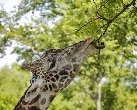 Giraffe named Congo. (Amiee Stubbs)