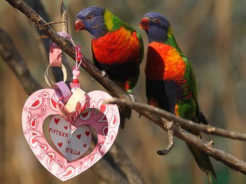 Valentine Lorikeets. (Christian Sperka)