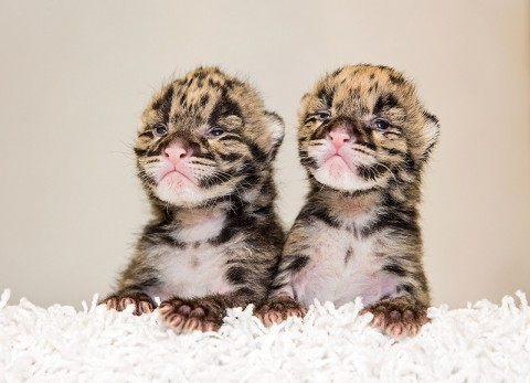 Clouded Cubs born at the Nashville Zoo. (Amiee Stubbs)
