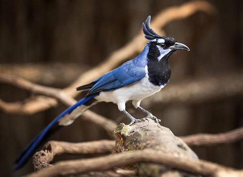 A Magpie Jay at the Nashville Zoo. ( Amiee Stubbs)