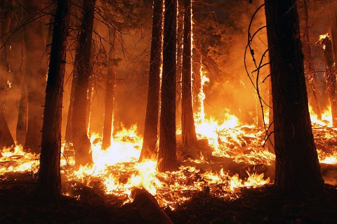 The 2013 Rim fire in and near Yosemite National Park, California, was the third largest in the state's history, burning more than 250,000 acres. Almost two years later, forest restoration efforts are still ongoing. (USFS/Mike McMillan)