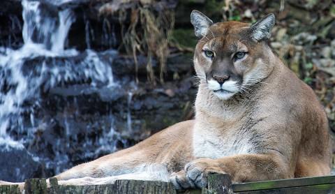Nashville Zoo Cougar, Jackson. (Christian Sperka)