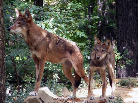 Red Wolf mom and her pup at LBL. (Brooke Gilley)