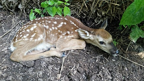 Nature Station welcomed the birth of twin fawns to one of the does in the deer enclosure in their backyard. Cautiously, their mother hides them at the bases of trees or along fallen logs, blending in with leaves and duff on the forest floor. They may be difficult to catch a glimpse of until they are a little older. (Arrianne Byrum)