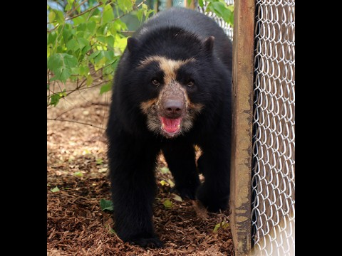 Nashville Zoo Bear Luka. (Margarita Woc Colburn, DVM)