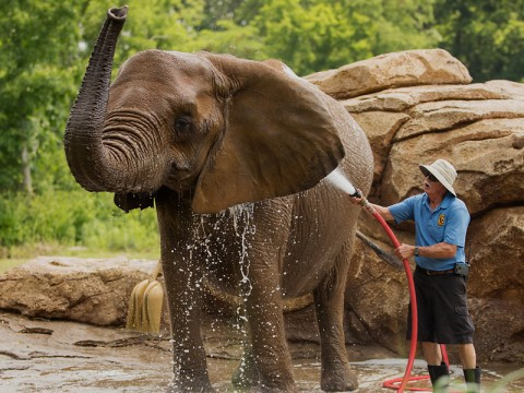 Nashville Zoo Keeper with Elephant. (Amiee Stubbs)
