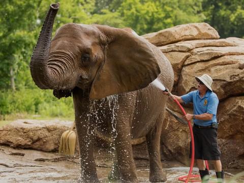 Nashville Zoo Keeper with Elephant. (Amiee Stubbs)