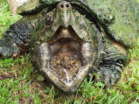 Alligator Snapping Turtle at Land Between the Lakes' Woodlands Nature Station. (Brooke Gilley, LBL)