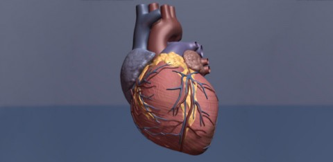 Heart Illustration. (American Heart Association)