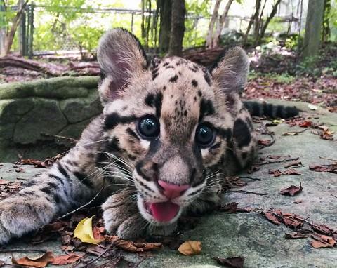 Nashville Zoo Clouded Leopard Cub. (Mary Brenna Corr)