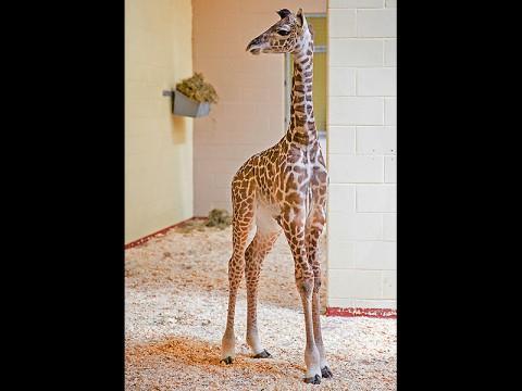 Nashville Zoo Giraffe Calf. (Amiee Stubbs)