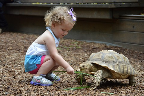 """Starting tomorrow, Nashville Zoo's newest interactive exhibit will open to the public. """"The Shell Station"""" will feature up to 24 Sulcata tortoises and allow Zoo guests to enter the exhibit and experience these animals up close. (Samantha Curington)"""