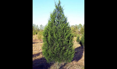 Land Between The Lakes Offers free Christmas Tree permits staring November 27th.