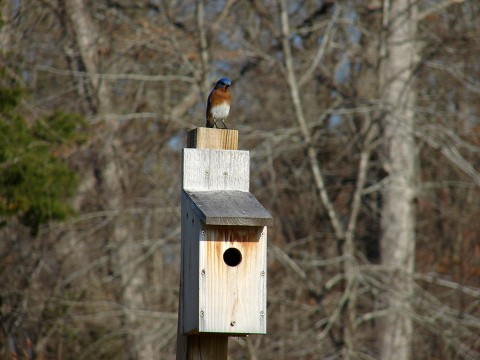 A Blue Bird on a Blue Bird box