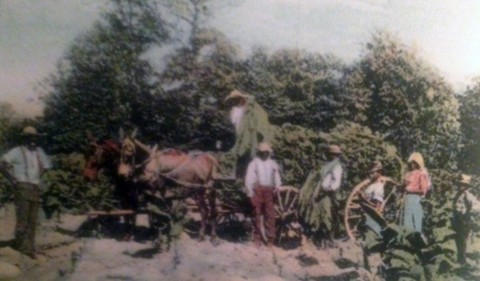 Cutting and Hauling Tobacco, Clarksville, Tennessee