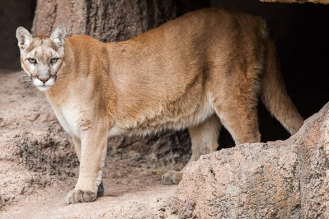 Cougar sighting in Wayne County confirmed by Tennessee Wildlife Resources Agency.