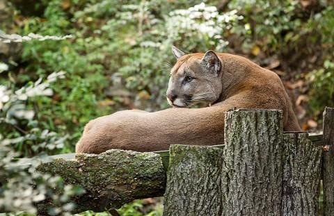Nashville Zoo Cougar. (Amiee Stubbs)