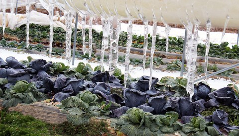 Winter Hoop House Crops. (TDA)